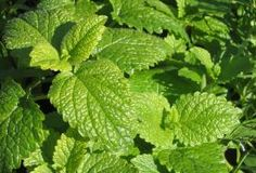 Lemon Balm from Awapuni Nurseries , Lemon balm makes a refreshing tea and its chopped leaves taste delicious in salads, stews and soups. It is sometimes known as garden balm, honey plant and sweet balm.