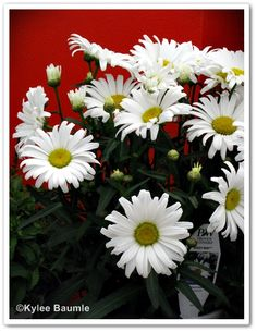 Daisy May® Leucanthemum (currently available)