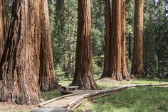 Exploring Giant Sequoia Groves:    Giant sequoias tower over a wooden boardwalk
