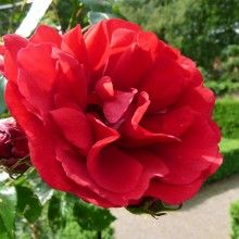 Rosa 'Sympathie' (klimroos)