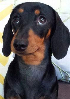 18 Reasons Dachshunds Are The Worst Indoor Dog Breeds Of All Time #dachshund
