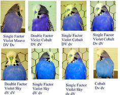 Budgerigar Color Chart | good day is a day all your birds are happy and healthy.