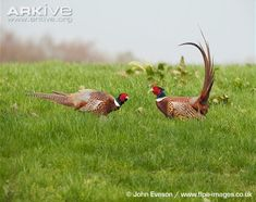 http://cdn1.arkive.org/media/52/52C27A55-7027-462F-B41C-B9F9296F4993/Presentation.Large/Male-pheasants-fighting.jpg