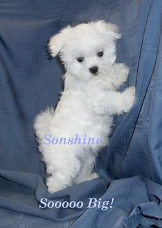 38 Trendy Dogs And Puppies Maltese Baby In 2020 Maltese Puppy