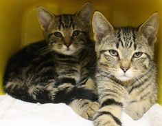 ADOPTED>Intake: 12/11 Available: 12/17 NAME: Brandon & Bethany  ANIMAL ID: 30382712-2710 BREED: DSH  SEX: Male & Female  EST. AGE: 4 mos  Est Weight: 3.5-4.3 lbs  Health:  Temperament: Friendly ADDITIONAL INFO:  RESCUE PULL FEE: SPONSORED!