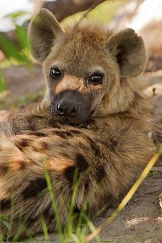 **Who said hyenas can't be cute? These Eyes