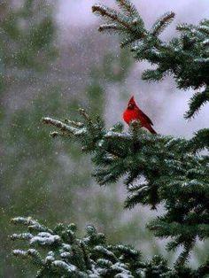 Cardinal in a Fir Tree!!! Bebe'!!! Pretty scene!!!