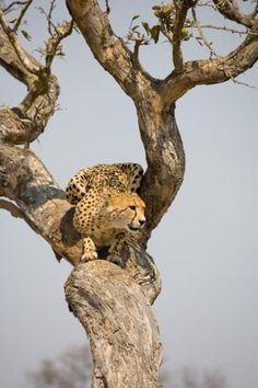 Cheetah in Tree, Sabi Sand Game Reserve Beautiful Creatures, Animals Beautiful, Beautiful Things, Amazing Animal Pictures, South Africa Safari, Picture Tree, Cheetah Animal, Kruger National Park, National Parks
