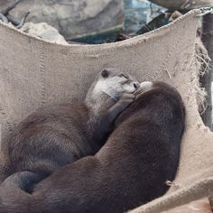 Otters Have a Sweet, Cuddly Nap — The Daily Otter Beautiful Creatures, Animals Beautiful, Animal Pictures, Cute Pictures, Baby Animals, Cute Animals, Otter Love, River Otter, Tier Fotos