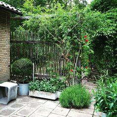 Fantastiskt fin och tidlös spaljé av enestörar, Villa sundahl, Sköndal, trädgården designad av Walter Bauer.