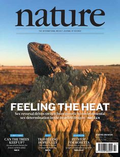 An Australian bearded dragon seen basking near the township of Eulo in the semi-arid zone of western Queensland. There have been repeated evolutionary transitions in reptiles between genetic and temperature-dependent sex determination, the regulatory process that initiates differentiation of the gonads. Clare Holleley et al. present the first report of reptile sex reversal in the wild, associated with rapid transition between genetic and environmental sex determination. Cover: Arthur Georges