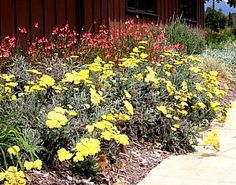 Achillea 'Moonshine'atSan Marcos Growers - Fern leaf yarrow (front beds and native wild flower area)