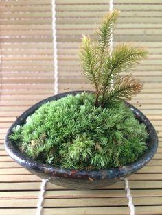 ホソバオキナゴケ+ヒノキゴケ,  美しい苔, 小さな盆栽 - Small Bonsai, beautiful moss - Leucoburryum neilgherrense, Rhizogonium dozyanum Lam.