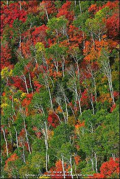Aspens in Utah