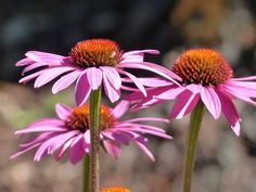 how to use echinacea companion planting garden vegetable Natural Fever Reducer, Vegetable Garden, Garden Plants, Plants Indoor, Organic Gardening, Gardening Tips, Plant Information, Natural Antibiotics, Companion Planting