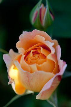 'Manyo' | apricot rose bud
