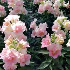 "It's a brand-new color palette for merry Snaps! Twinny Appleblossom opens pale pink to cream, maturing to nearly white over its long season. These large ?butterfly"" (double) blooms jostle one another for space on compact dwarf plants. Standing tough despite harsh spring or fall weather, this bedding plant is just right for containers as well as the sunny bed.The Twinny series is the first Snap to offer double-flowered blooms on a dwarf habit, and Twinny Appleblossom adds another innovation ?…"