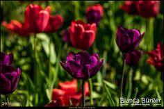 Britzer Garten (Mai 2016) - Tulipan 2 - Tulpen-Ausstellung #BritzerGarten #Britz #Neukölln #Berlin #Deutschland #Germany #biancabuergerphotography #igersgermany #igersberlin #IG_Deutschland #IG_Berlin #ig_germany #shootcamp #shootcamp_ig #berlingram #visit_berlin #AOV5k #flowers #flower #Blumen #Blume #Tulpe #tulip #colourful #red #Rot #lila #purple #Tulipan