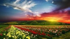 Field of Flowers wallpaper