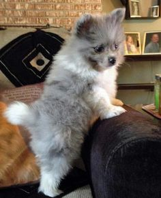 Paxton the Pomeranian . . . this little one is so cute and i like what looks like a white pompom at the tip of his tale.