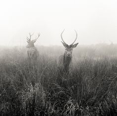 Red Deer (Cervus elaphus). Richmond Park, SW London, UK, in very heavy fog. Taken with a Hasselblad 500c/m on HP5+ film, 150mm lens.