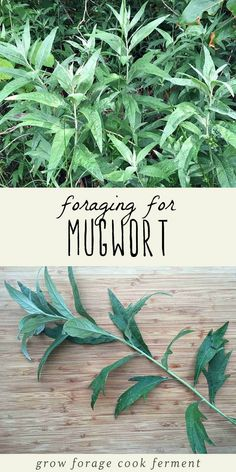 Mugwort is an edible and medicinal plant that has many uses. Foraging for mugwort is easy and fun, and it grows almost everywhere! Learn how to identify and forage for mugwort, plus all of its uses in your herbalism and natural medicine practice. #herbalism #foraging #wildcrafting