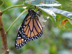 """""""The Monarch Butterfly breaks away from its chrysalis and its former life to find new opportunities."""" - See more at: http://www.homesalesinsights.com """"Steve Hoffacker's """"Home Sales Insights"""" - by Steve Hoffacker - http://stevehoffacker.com"""