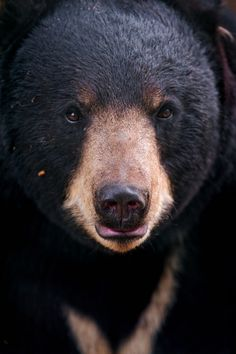theanimaleffect:    Bear out of the darkness