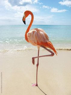 Pink flamingo standing on a tropical beach in the Caribbean. by Jovana Milanko f… Pink flamingo standing on a tropical beach in the Caribbean. by Jovana Milanko for Stocksy United Flamingo Rosa, Flamingo Photo, Pink Flamingos, Flamingo Beach, Tier Wallpaper, Flamingo Wallpaper, Beautiful Birds, Animals Beautiful, Funny Animal Humor