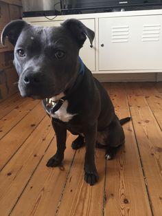 Konan Staffordshire Bull Terrier | Pawshake