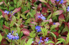 Ceratostigma plumbaginoides Hardy Plumbago - intense blue flowers in autumn