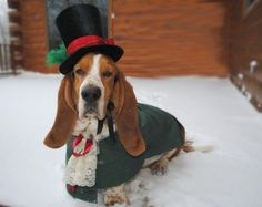 This is a basset hound in Dickenzien garb. Omg.