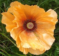 Tangerine Oriental Poppy. This is massive this year must have liked the snow!! The head is the size of a dinner plate!! Glorious colour. June 2013 in my garden.