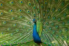 peacock - Google-haku