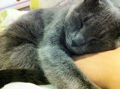 that looks like my cat piper Kittens Cutest, Cats And Kittens, Cute Cats, Tabby Cats, Korat Cat, Russian Blue Kitten, Cat Sleeping, Grey Cats, Beautiful Cats