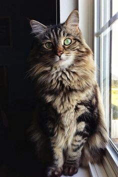The maine coon cat breed is considered to be the the mammoth of the cat world. Maine Coons have a kind nature and an easy going behavior. Best Cat Breeds, Kitten Breeds, Cool Cat Trees, Cool Cats, Beautiful Cat Breeds, Beautiful Cats, Animals Beautiful, Domestic Cat Breeds, Gatos Cat