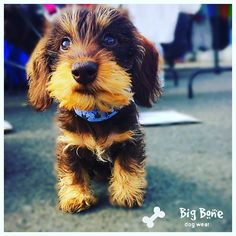 Dackelwelpen Cute Puppies, Cute Dogs, Cute Babies, Dachshund Love, Daschund, Animals And Pets, Cute Animals, Fluffy Cows, Wire Haired Dachshund