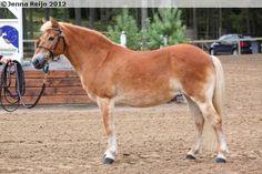 Gotland Pony - mare Belissa