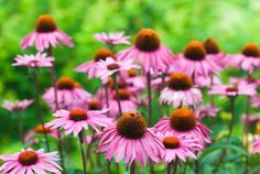 10 Impressive Echinacea Benefits to Support Your Health - 10 Impressive Echinac. - 10 Impressive Echinacea Benefits to Support Your Health – 10 Impressive Echinacea Benefits to Support Your Health Blooming Flowers, Fall Flowers, Summer Flowers, Pretty Flowers, Garden Yard Ideas, Lawn And Garden, Flowers Perennials, Planting Flowers, Growing Flowers