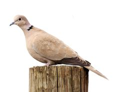 Garden, Collared, Bird, Plumage, Dove, Nature #garden, #collared, #bird, #plumage, #dove, #nature