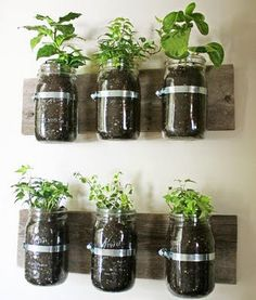 Indoor herb garden... I am going to try this but vertical rather than horizontal.  Mount glass jars to wood and attach wood to wall between the bay windows.  Now... what herbs to grow?  :)