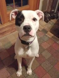 Petey is an adoptable Pit Bull Terrier Dog in Livonia, MI. Online Dog Application Petey is a sweety! This little rascal is a 1.5 year old Boxer/Pit mix. He weighs 55 lbs, is neutered, up-to-date on va...