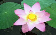 Dag 36/365 Verering van de lotusbloem