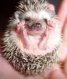 I think a pygmy hedgehog would make a great little pet after seeing them at the London Pet Show!