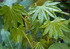 Fatsia japonica, Aralia du Japon