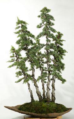 Cedrus brevifolia.