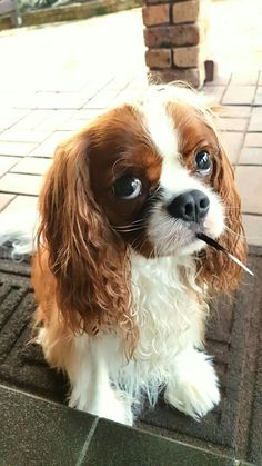 Cavalier King Spaniel, Cavalier King Charles Dog, King Charles Spaniel, Spaniel Puppies, Cocker Spaniel, Dogs And Puppies, Doggies, I Love Dogs, Cute Dogs