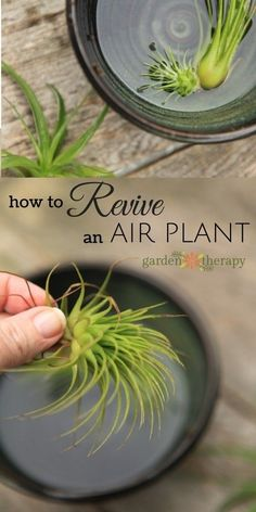 How to water and revive a sick air plant. If your air plant is looking dull, a bit brown, maybe limp, it could mean that it is very thirsty! To revive a sick air plant that has been a tad neglected… Organic Gardening, Gardening Tips, Indoor Gardening, Vegetable Gardening, Kitchen Gardening, Hydroponic Gardening, Air Plants Care, Air Plant Terrarium, Planting Flowers