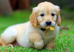 Ari-the-Golden-Retriever The Daily Puppy Puppies And Kitties, Cute Puppies, Pet Dogs, Doggies, Labrador Dogs, Love My Dog, Golden Retrievers, Cute Baby Animals, Animals And Pets