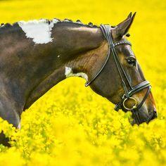 Beautiful Magic in the flower field. © Majken Soelberg - www.majkensoelberg.dk #pferderosen #europaspferde #bestofequines #minhest #ybh_post #hho_post #horsesofinstagram #instahorse #hestefotograf #equestrian #equinephotographer #horsephotog #nikon #reallifehorses #enempost #featuremesophie #pferd #cheval #cavallo #horselife #horserider #horseplanet